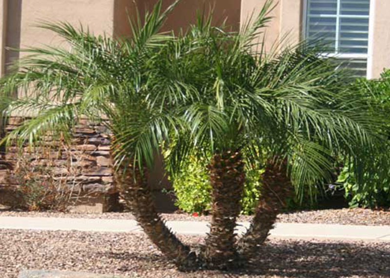 rock plant care with Palm Tree Nursery Pygmy Date Palm Tree on Cultivating Cranberries besides Best Trees For Bonsai Best Bonsai Plants together with Top 10 Medicinal Plants India moreover E5 AE A2 E6 88 B7 likewise PALM TREE NURSERY PYGMY DATE PALM TREE.