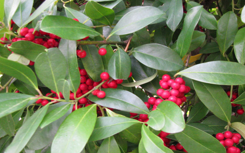 Dahoon Holly Tree For Sale North Fort Myers