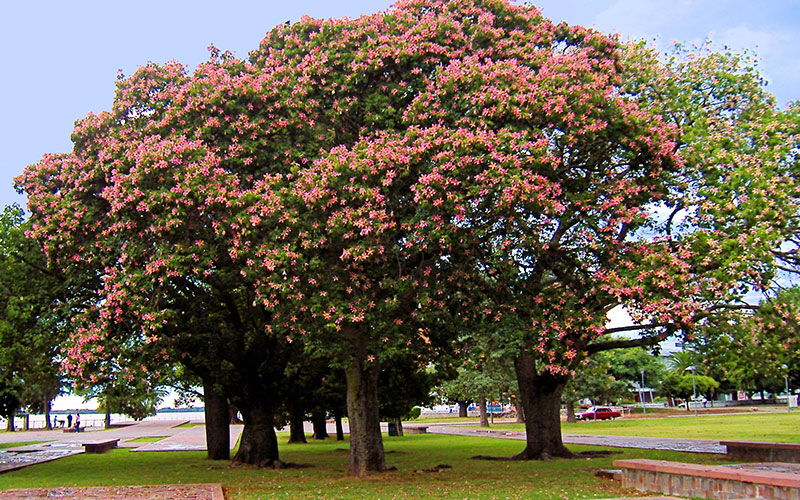 Silk Floss Tree For Sale North Fort Myers