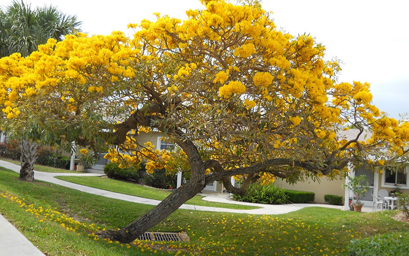 Tabebuia Tree For Sale North Fort Myers