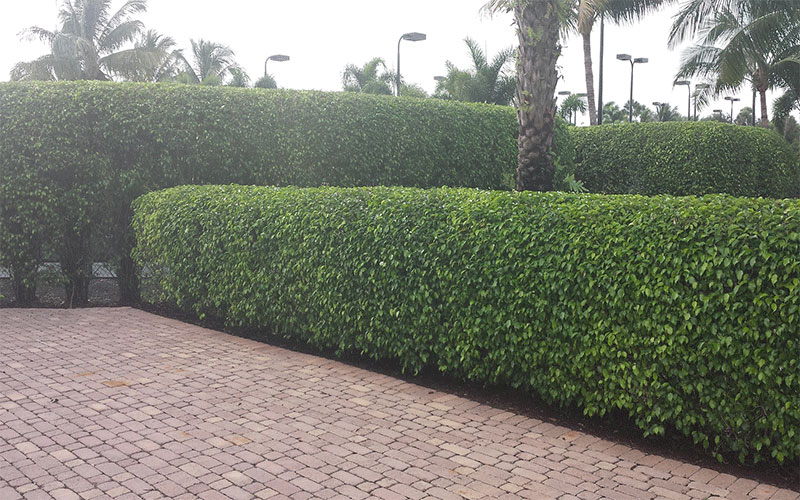 EUGENIA SHRUB FOR SALE NORTH FORT MYERS